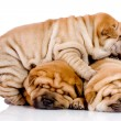Three Shar Pei baby dogs — Stock Photo