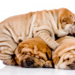 Three Shar Pei baby dogs - Stock Photo