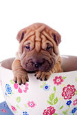 Shar Pei baby dog in a large cup — Стоковое фото