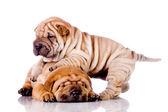Shar pei, dziecko dwa psy — Zdjęcie stockowe