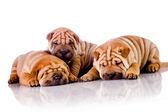Drie shar pei baby honden — Stockfoto