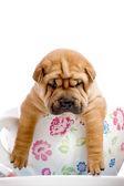 Shar pei baby hond in een grote kop — Stockfoto