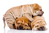 Shar pei, dziecko trzy psy — Zdjęcie stockowe