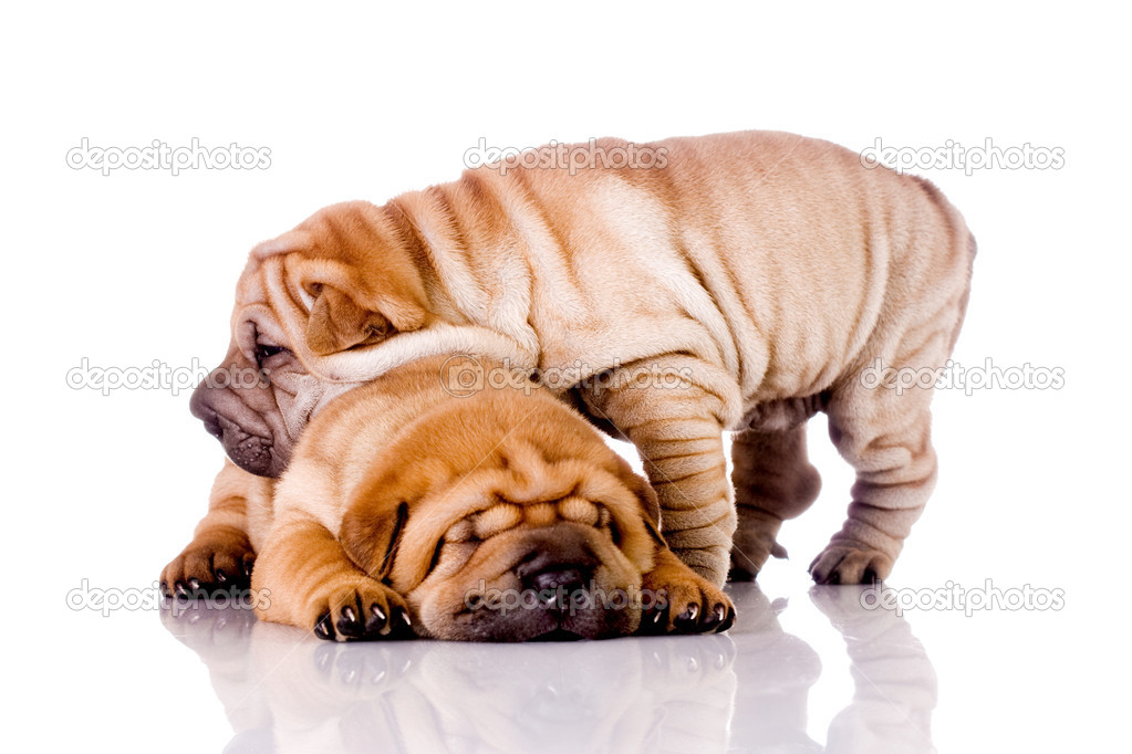 download shar pei puppies - photo #39
