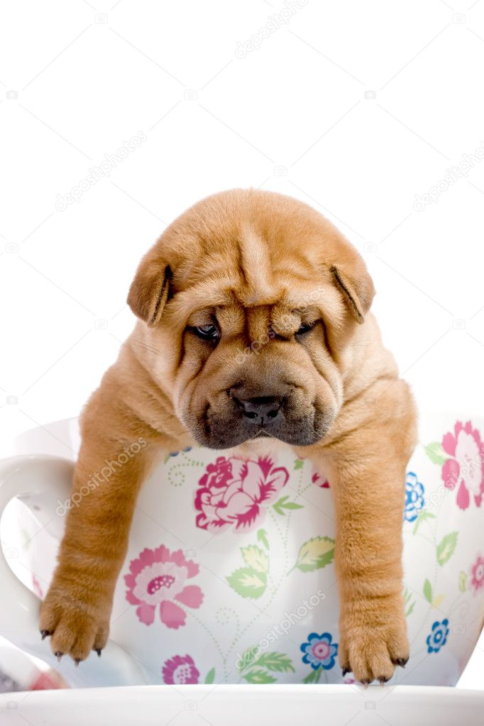 Shar Pei baby dog, almost one month old  Stock Photo #2090691