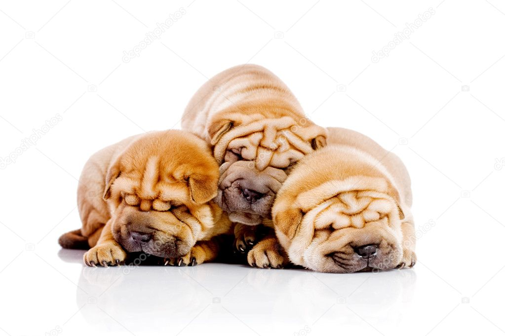 Three Shar Pei baby dogs, almost one month old — Stock Photo #2090801
