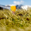 Crocus flower - Foto Stock