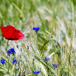 Red flower in a wheat field — Stock Photo