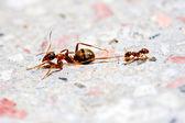 Ants fighting — Stock Photo