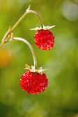 Wild strawberry close-up — 图库照片