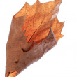 Dry maple leaf - Foto Stock