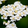 Bunch of white flowers - Foto Stock
