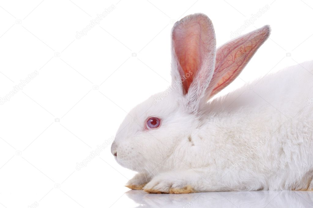 Rabbit isolated on white background — Stock Photo #2112008
