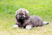 Sarplaninec, Macedonian shepherd dog — Foto de Stock