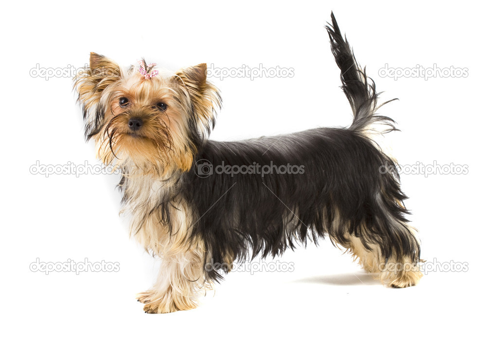 Yorkie isolated — Stock Photo #2106063