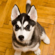 Puppy — Stock Photo #2220699