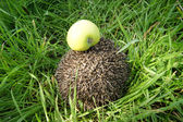 Thrifty hedgehog — Stock Photo