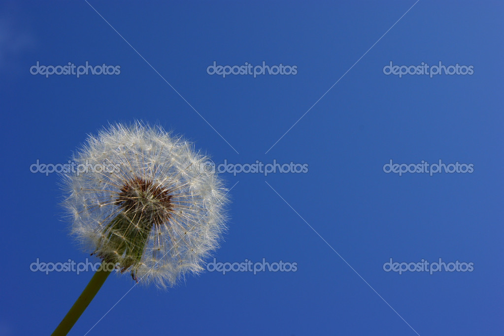White dandelion.One against the sky.The wind blows seeds.close-up.copy space.The dark blue sky — ストック写真 #2065499