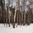 Birches and snow — Stock Photo
