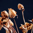 Stock Photo: Dried flower roses