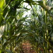 Maize field — Stock Photo