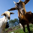 Young goats - Stock Photo