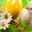 Royalty-Free Stock Photo: Easter Chick