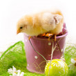 Easter Chick — Stock Photo