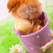 Young Chick — Stock Photo