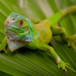 Green Iguana on Leaf - Stock Photo