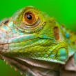 Green Iguana — Stock Photo #2062546
