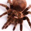Stock Photo: Gigant Tarantula!