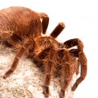 Stock Photo: Gigant Rock Tarantula!