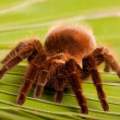 Gigant Tarantula on Leaf - Stock Photo