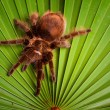 Gigant Tarantula on Leaf — Stock fotografie
