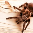 Gigant Tarantula on wood! - Stock Photo