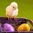 Stock Photo: Easter Chick