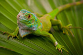 Green Iguana on Leaf — Stock Photo