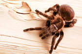 Gigant Tarantula on wood! — Stock Photo