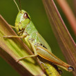 Katydid- insect — Stock Photo