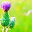 Blooming thistle — Stock Photo