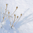Stock Photo: Dry plants and snow