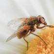 Close-up fly — Stock Photo