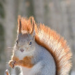 Frightened squirrel — Stock Photo