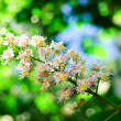 Flowers Chestnut — Stock Photo #2203312