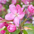 Apple flowers pink - Photo