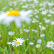 White daisies- soft focus — Stock Photo #2205419