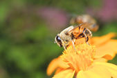 Bee and yellow flower — Stock Photo