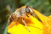 Raindrops on the bee — Stock Photo