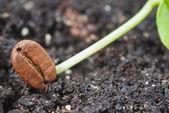 Seed coffee — Stock Photo
